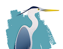 Ardea herodias -- Great Blue Heron