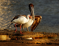 Some Everglades Birds