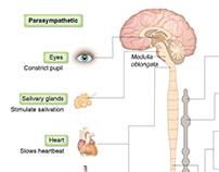 Sympathetic & Parasympathetic Innervation Schema