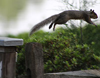 Flying Squirrle