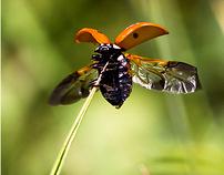berusky/ ladybirds