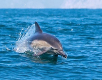 Wild Dolphin near Anacapa Island