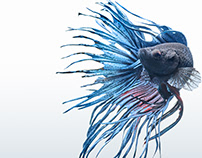Beta Fish   Toby Pederson