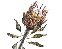 Protea botanical watercolor illustration