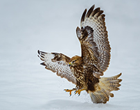 Common Buzzard Collection 3