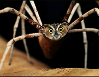 Spider owl Photoshop mashup