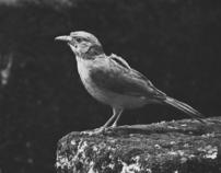 ordinary birds