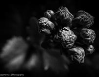 Calandiva Buds