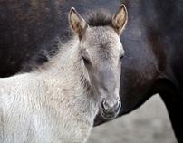 Horses on Iceland