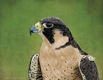 Peregrine Falcon: Digital Drawing/Painting