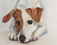 Jack russell terier portrait