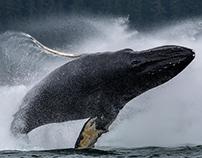 Alaska, Whales