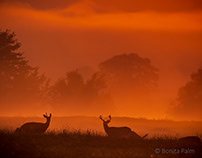 Whitetail Deer In the Golden Hour