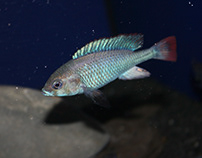 "Ptyochromis sp. ""red tail sheller""."
