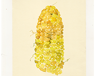 "Illustrartion ""corn"""