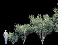 Eucalyptus Lehmannii