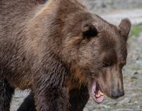 Alaska, Inexperienced grizzly