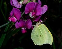 Greedy butterflies...
