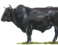 Wagyu Bull, Water Colour, 2015