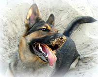 My German Shepherd Yashma.