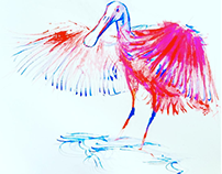 Spoonbill Watercolor Sketches