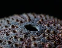 Sea Urchin Details