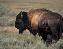 Yellowstone Teil 6