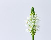 Cape Lily