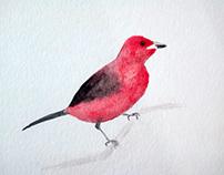 Tanager bird