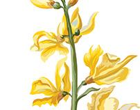 Wildflowers of Sierra Nevada: Spanish Broom