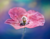 Expression of the poppy