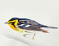 Dendroica fusca - Bird illustration