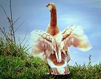 Rare Leucistic Canada Goose
