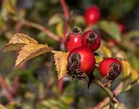 Autumnal berries...