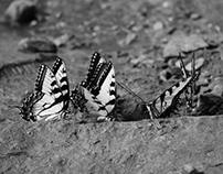 Swallowtail butterflies taken at DuPont Forest