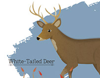 Odocoileus virginianus -- White-Tailed Deer