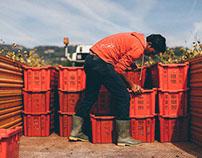 Organic Harvest - Italy [Photo Reportage]
