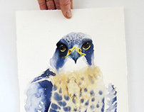 Face of the Peregrine falcon