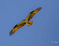 Ospreys in Oregon