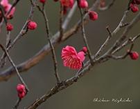熊本県護国神社の梅