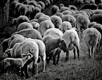 It's about sheep