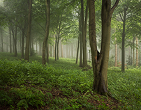 Another Misty Morning in Wendover Woods