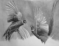 Cock pheasants sparring