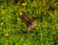Migrating Birds of Coastal Alabama