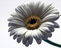 Gerbera on white
