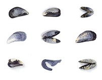 Blue Mussel Shell Typology