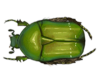 Beetles of the world