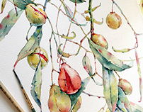 Denhamia in watercolor