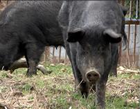 Mulefoot Pigs