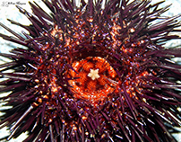 ERIZOS DE MAR / SEA URCHINS